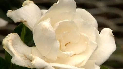 How to Care for Gardenias Indoors | eHow