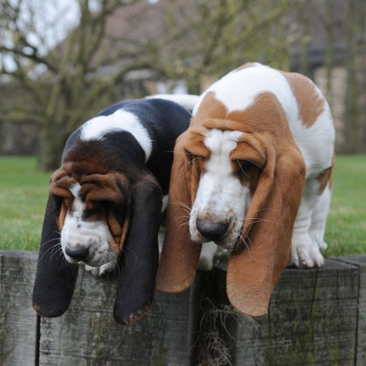 Basset Hound Puppies For Sale In Indianapolis Indiana