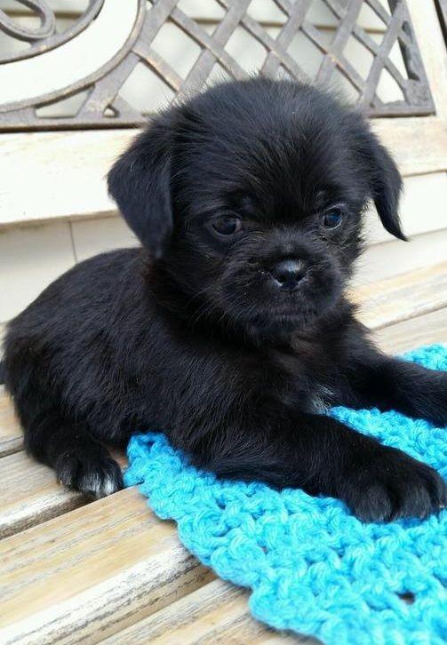453 best pug mixed breeds images on pinterest pug mixed