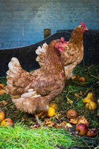 Alimentation des poules : stimuler la ponte | Guide gratuit pour élever des poules dans son jardin