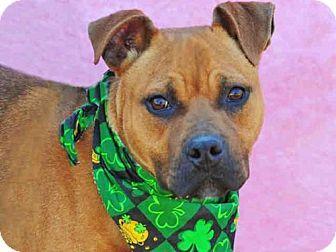 Louisville, KY - Boxer Mix. Meet PRICE, a dog for adoption. http://www.adoptapet.com/pet/17920301-louisville-kentucky-boxer-mix