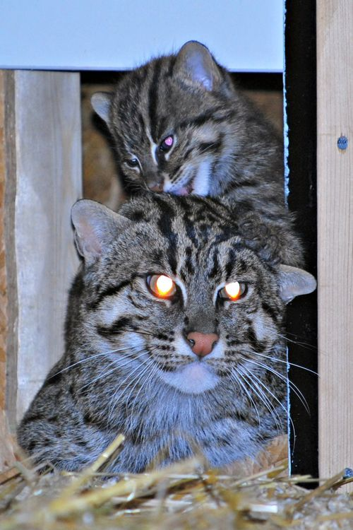 Fishing Cat Plays with Mom at Parken Zoo