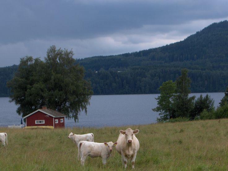 Koeien in Zweden