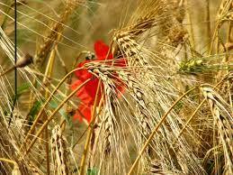 """Résultat de recherche d'images pour """"field cereal"""""""