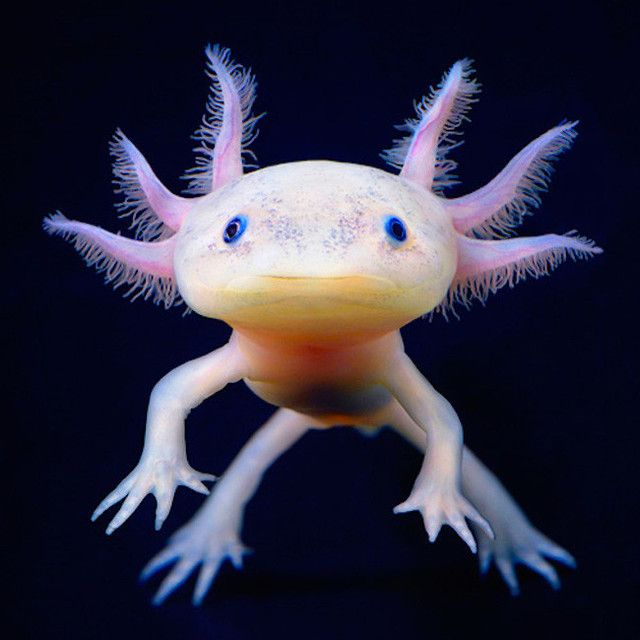 Image of an axolotl, commonly known as a Mexican salamander or a Mexican walking fish. Image credit: Dylan Jones