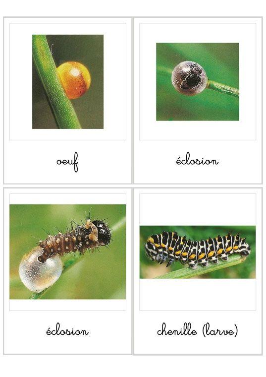 Cycle de vie du papillon  http://lheuremontessori.canalblog.com/