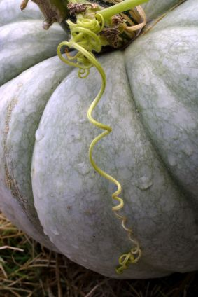 Once a novelty, white pumpkins are becoming increasingly common. They're also known as albino or ghost pumpkins.