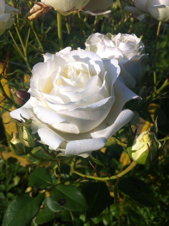 <3 trandafiri <3