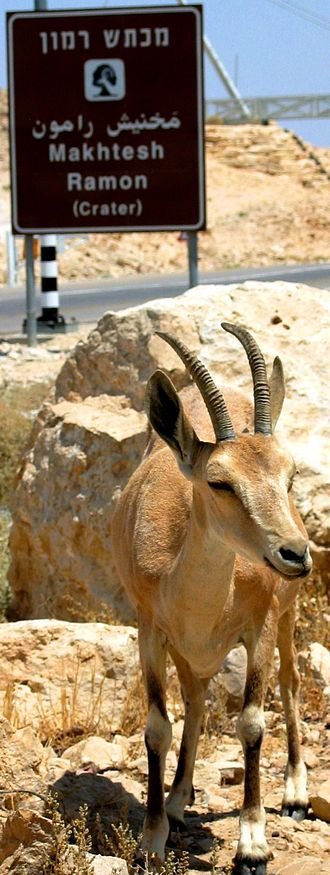 A Nubian ibex by the entrance to Makhtesh Ramon, Negev Desert, Israel Actually saw one of these when I was there.