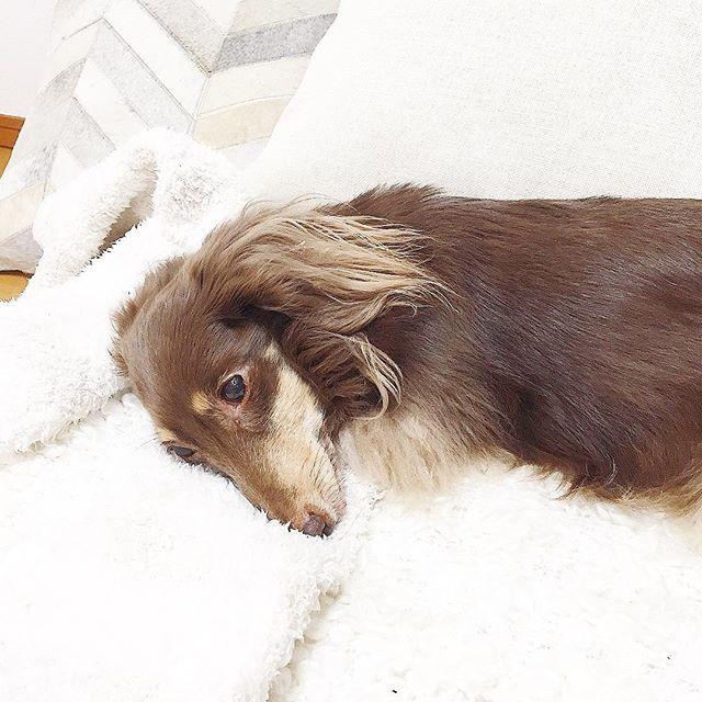 gm . ココはソファでうとうと 最近ガリガリの頻度が上がって、けっこううるさい。。。 今日は私のルームソックスをガリガリして枕にしていましたʕ•ᴥ•ʔ 枕元ガリガリして起こすのはやめてー . 早起きしたので、掃除洗濯して朝ごはんでも作ろうかな♪ 宣言通りちゃんと#お料理 しています . #ココとミナコの暮らし . #犬はまだ寝てる #飼い主を起こしてまだ寝てる . #dog #pet #animal #Dachshund #cute #love #instagood #family #bed #犬 #愛犬家 #ペット #ダックス #ミニチュアダックス #ミニチュアダックスフンド #ミニチュアダックスフント #ダックスフンド #ダックスフント #家族 #愛犬 #チョコタンダックス #いぬすたぐらむ