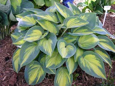 'June'Gardens Ideas, Funkia June, Hosta June, June Hosta, Dreams Gardens, Favorite Hosta, Clump Hosta, Flower Hosta, Gardens Growing