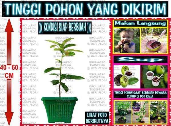 UNTUK MEMBELI LANGSUNG KLIK LINK DIBAWAH  https://www.bukalapak.com/p/hobi-koleksi/berkebun/bibit-tanaman/3c28xn-jual-pohon-buah-import-psm001  AMAN 100% KARENA BISA BAYAR DI INDOMARET SIMPAN BUKTI PEMBAYARAN TERSEBUT SEBAGAI TANDA BUKTI