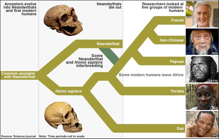 Many people alive today possess some Neanderthal ancestry, according to a landmark scientific study. Between 1% and 4% of the Eurasian human genome seems to come from Neanderthals. The results show that the genomes of non-Africans (from Europe, China and New Guinea) are closer to the Neanderthal sequence than are those from Africa. > http://news.bbc.co.uk/1/hi/sci/tech/8660940.stm > http://en.wikipedia.org/wiki/Neanderthal