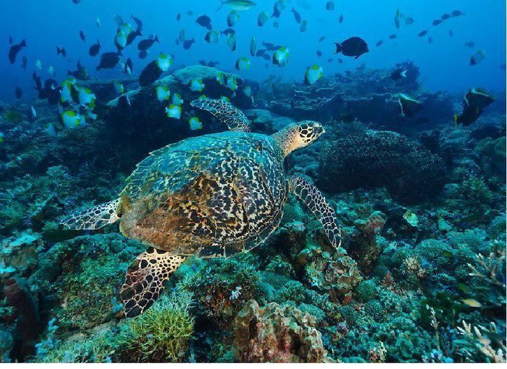 Green Sea Turtle (Chelonia Mydas) swimming in coral reef in DERAWAN Island.