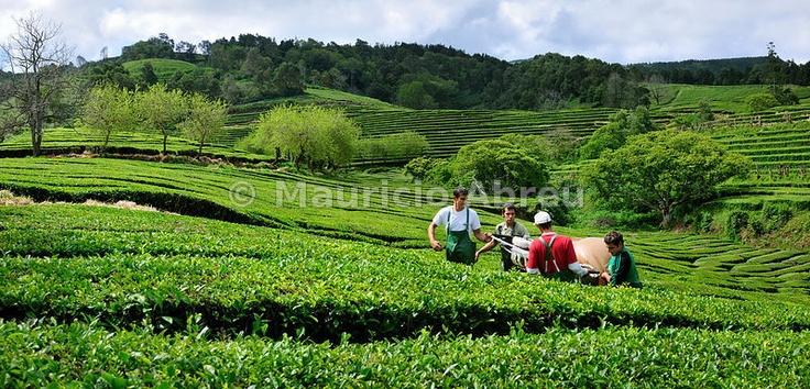 Workers picking the tea leaves at Gorreana tea plantations. São Miguel, Azores islands, Portugal