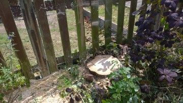 Just the stump remains... http://modernmint.co.uk/tree-surgery-essex/