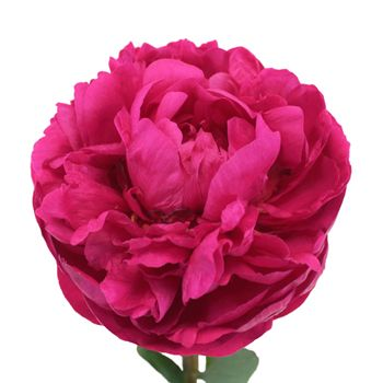 FiftyFlowers.com - Peony Flower Kansas Pink December Delivery