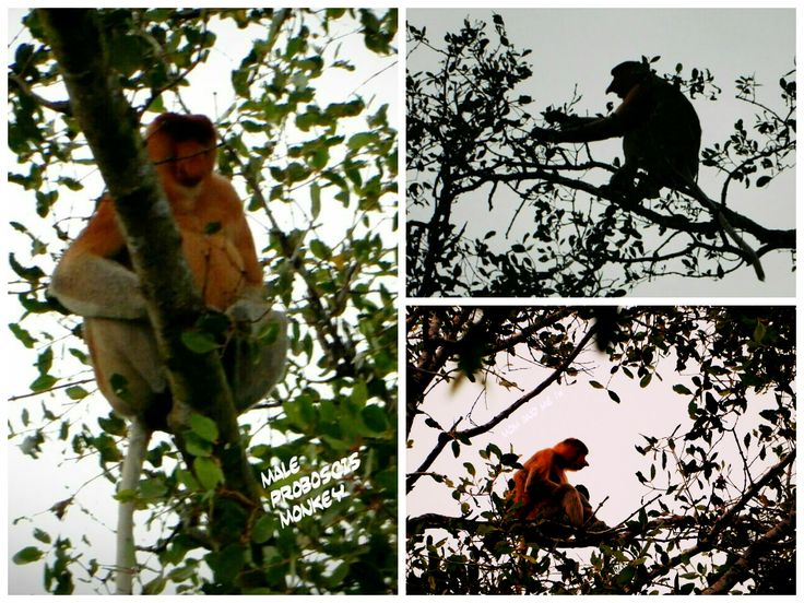 Tarun, the #BouInBorneo spotted the extremely rare Proboscis monkey!