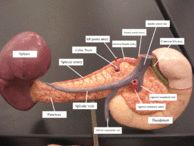 Celiac artery - Wikipedia, the free encyclopedia>>posterior view of pancreas showing splenic vein + smv creating the portal confluence. this model shows the CBD travelling laterally to the head of the pancreas??