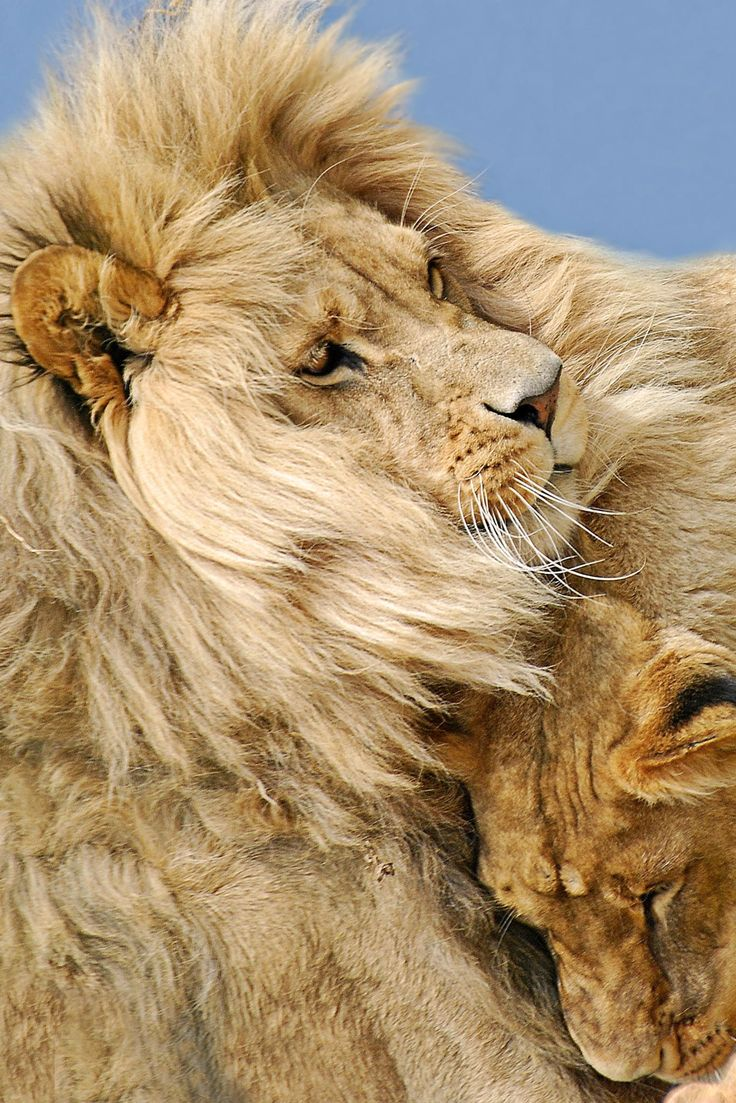 Lions, the King and Queen of the Jungle #lions