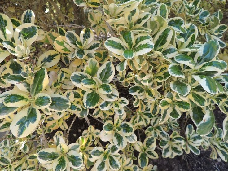 Mirror Bush 'Silver Queen' (Coprosma repens)
