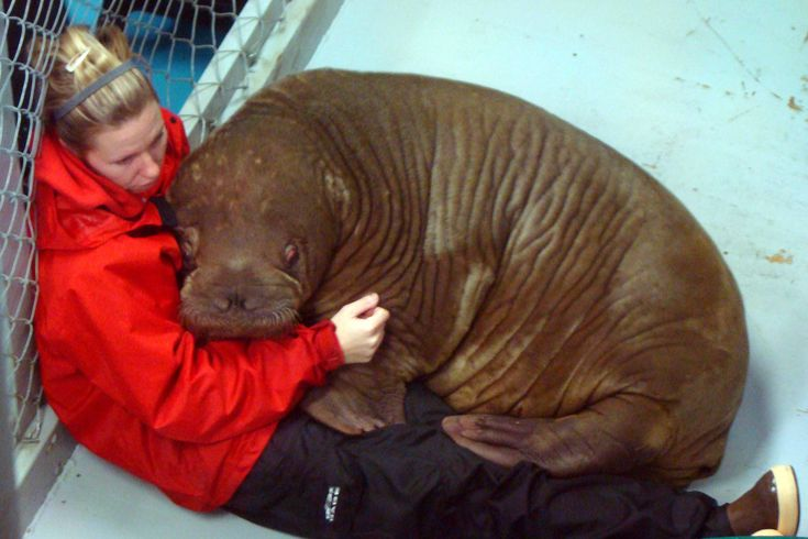 Scared baby walrus and her trainer...