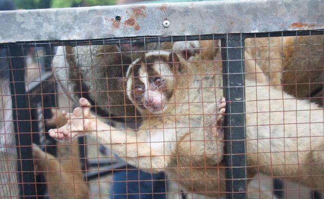 19 loris en danger critique Rescued De Trader en ligne  Le vendredi, 19 en danger critique loris lents  ont été sauvés d'un commerçant en ligne.