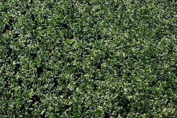 spacing of laurel hedges