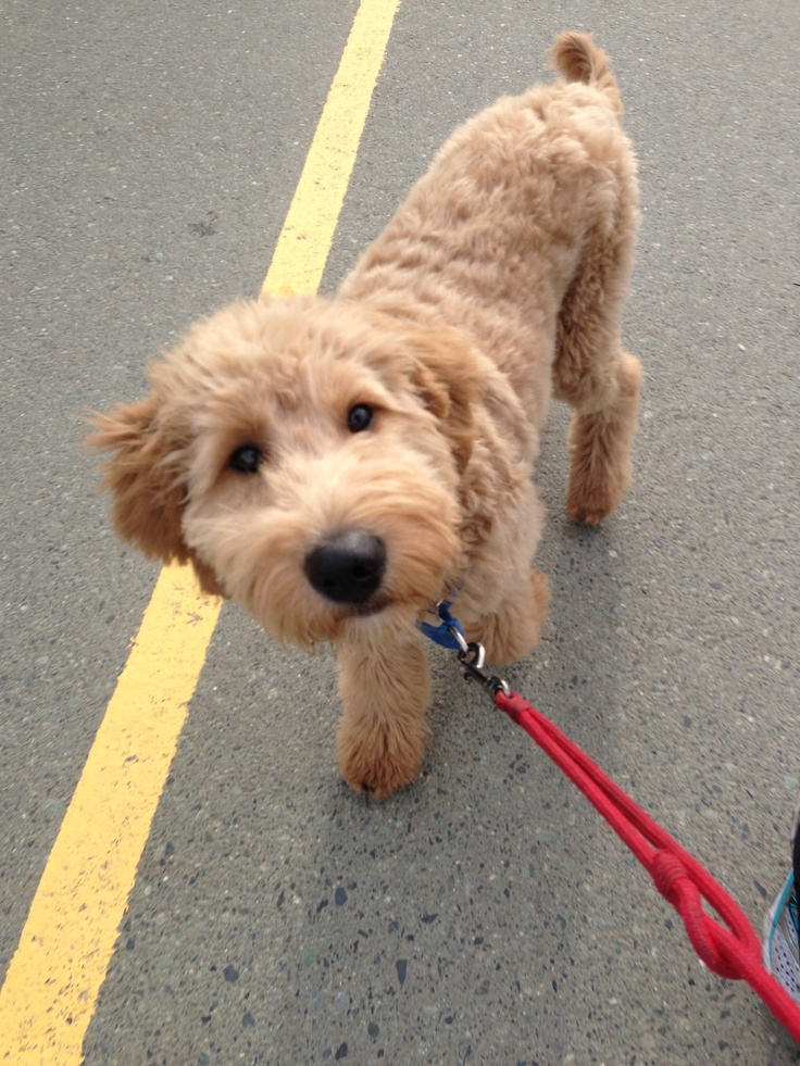 goldendoodle haircuts styles 25 best ideas about goldendoodle haircuts on 1521
