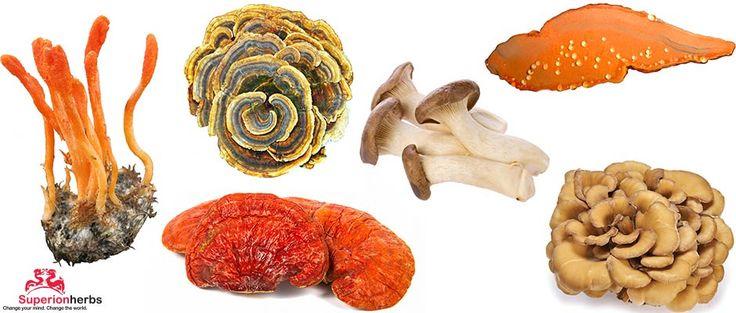 Medicinalni-houby