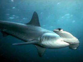 Si tu croises un requin faucille avec un requin marteau t'as un requin communiste ?