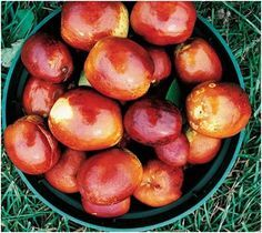 Health Benefits of the Jujube fruit: The water extracted from Chinese dates has the potential to inhibit cancerous cells, especially the ones triggering leukemia.