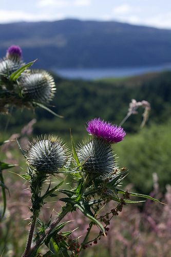 Thistle, common throughout the highlands, islands and lowlands of Scotland, the prickly purple thistle has been Scotland's NATIONAL EMBLEM for centuries. This proud and regal plant, which grows to a height of five feet, has no natural enemies because of the vicious spines that cover and protect it like a porcupine.