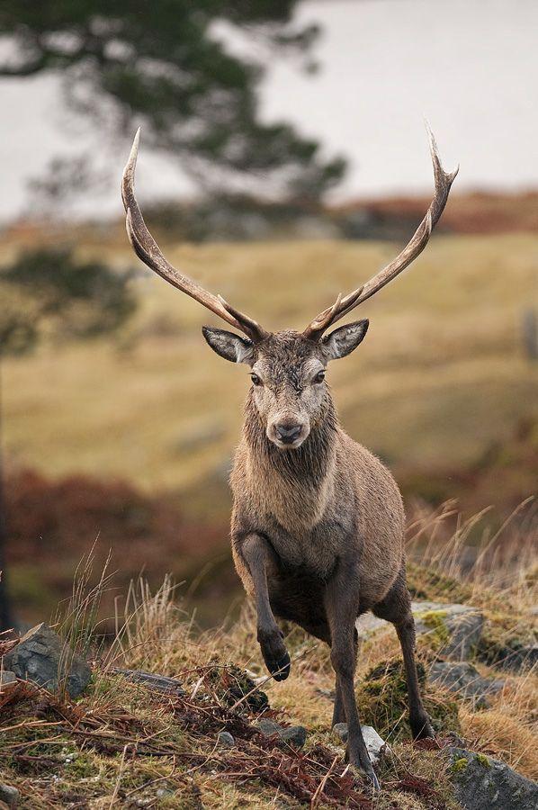 {<3} ☀Red Deer Stag