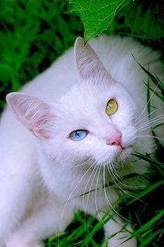 gato angora turco blanco - Pesquisa Google