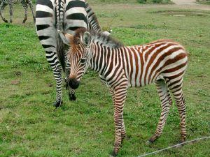 #Zèbre #Zebra #ZoodelaBoissièreduDoré #Zoo #Nantes #LoireAtlantique