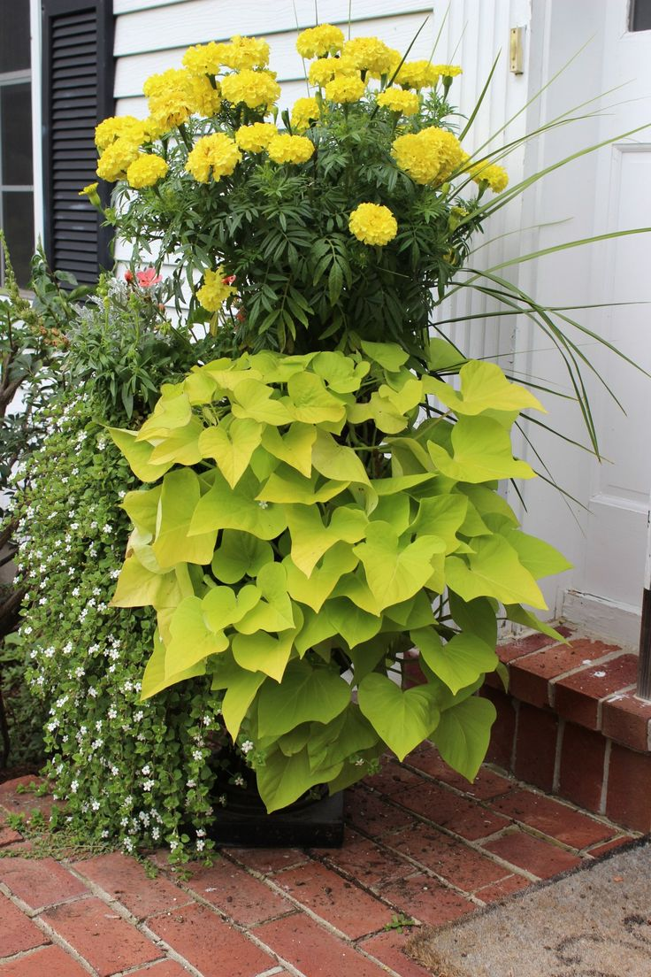 100 ideas to try about trailing cascading spiller plants for baskets or windowboxes window. Black Bedroom Furniture Sets. Home Design Ideas