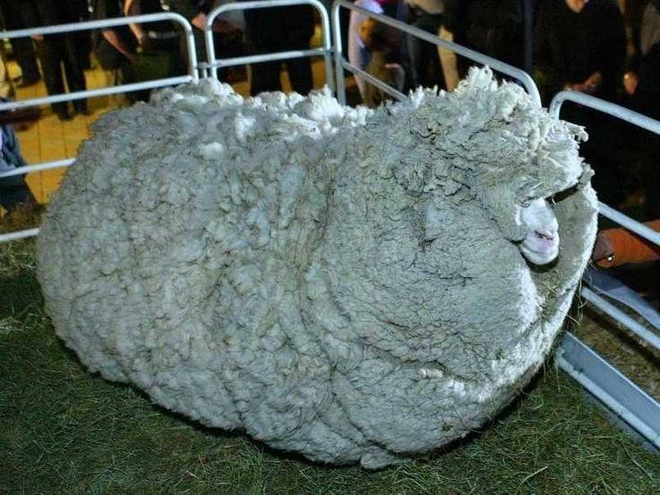 Mouton non tondu pendant six ans.