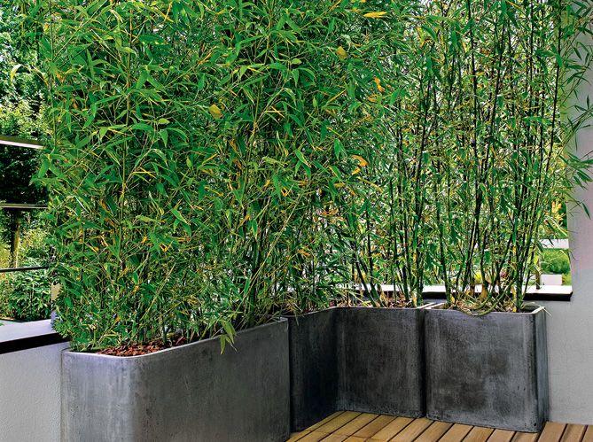 Pour le balcon ou la terrasse, le choix se portera sur des espèces compactes et denses, avec des feuillages persistants pour en profiter plus longtemps dans l'année.Les essences se choisissent parmi le cotonéaster (Cotoneaster franchetii), le troène (Ligustrum sp), le filaria (Phyllerea angustifolia), l'if (Taxus sp), le photinia (Photinia sp), le     bambou …Photo : Bacs d'extérieur et spécial angle, à partir de 59 €, chez     Truffaut