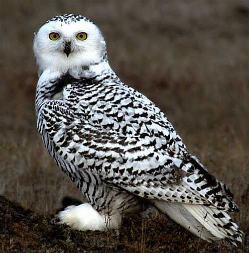 snowy owls of the arctic The snowy owl (bubo scandiacus), also known as the great white owl or arctic  owl, is one of the most distinctive bird species on the planet while you won't find .