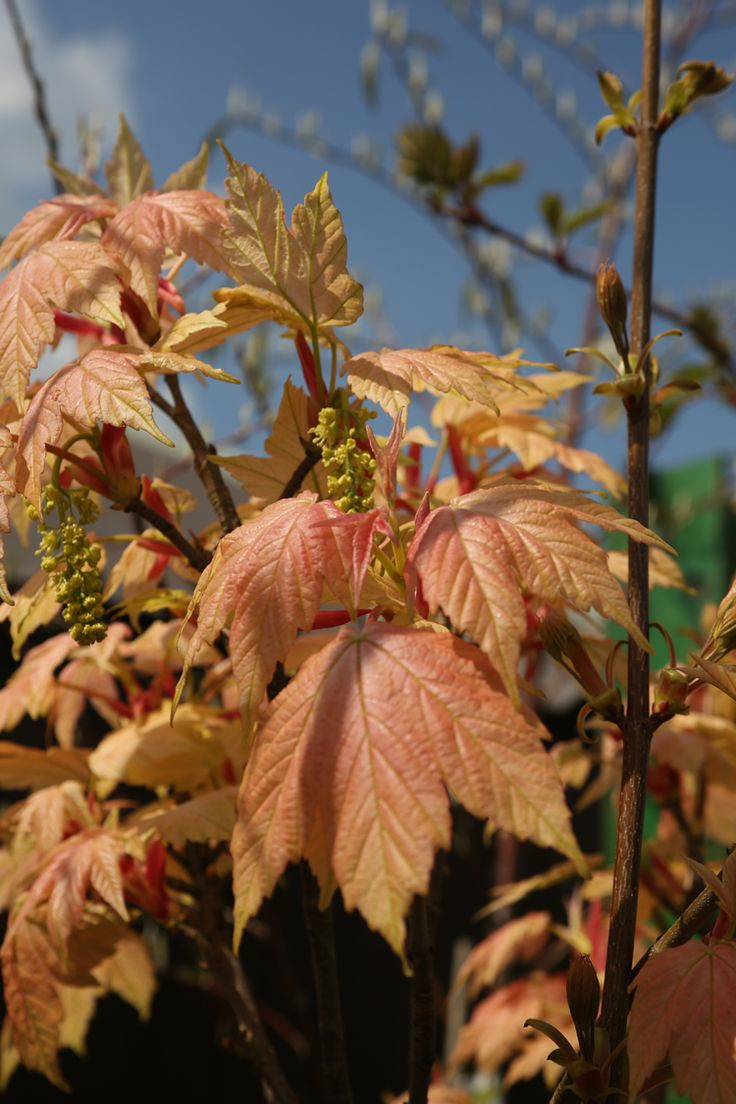 Nothing can beat the salmon pink spring foliage of Acer Brilliantissimum, which was bred on a local nursery not far from Owl Lane.  (While we keep a fantastic range of plants in stock 12 months of the year, we would advice giving us a ring if you are looking for a specific plant, call us now on 01924 276446)