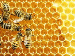 Bacteria from bees possible alternative to antibiotics - Pat McCluskey