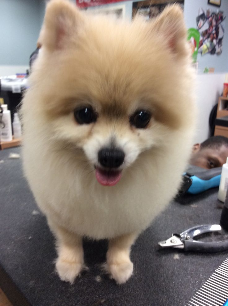 pomeranian haircut style 22 best pomeranian haircut images on pinterest 5805