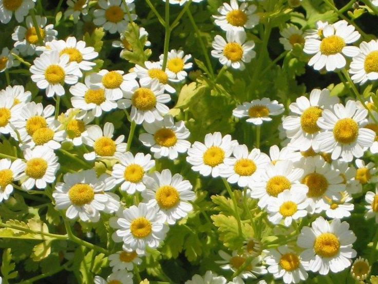 This feverfew, along with licorice root and white tea, work together to create an anti-oxidant booster, combating free radicals.