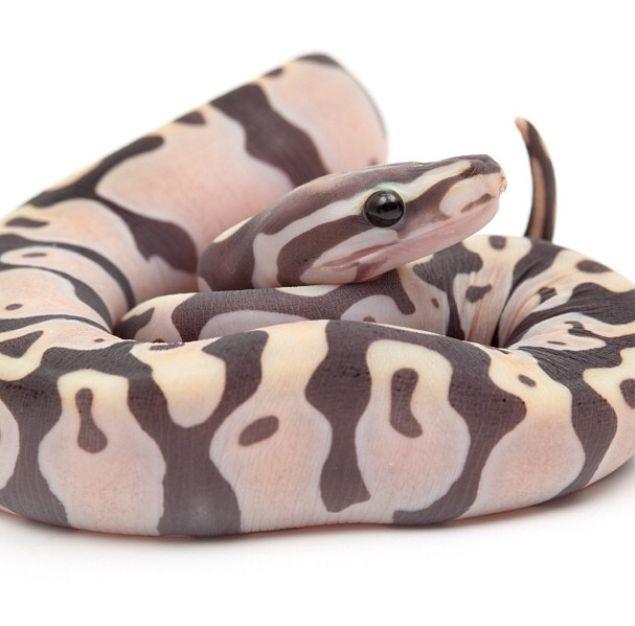 scaleless ball python, photo credit: snakebytes.tv