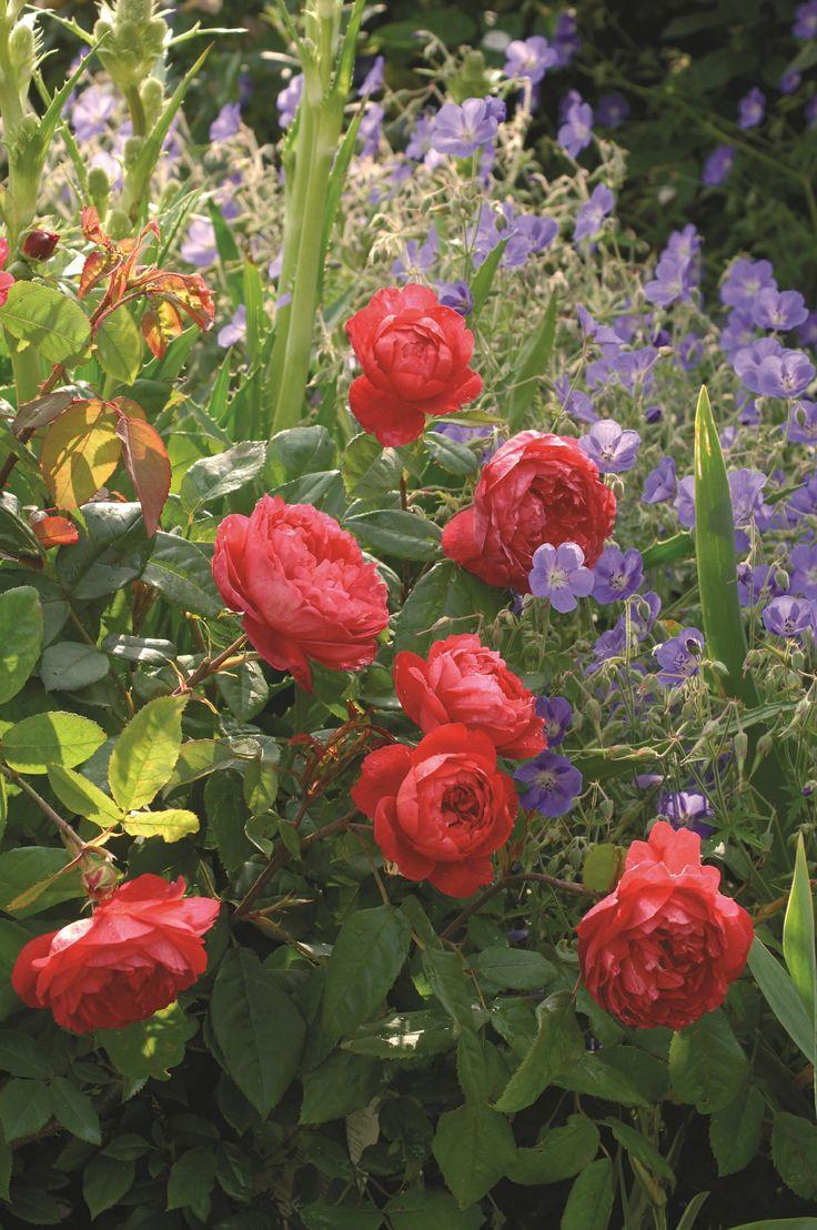 Benjamin Britten (Ausencart) #DavidAustin #GardenRoses