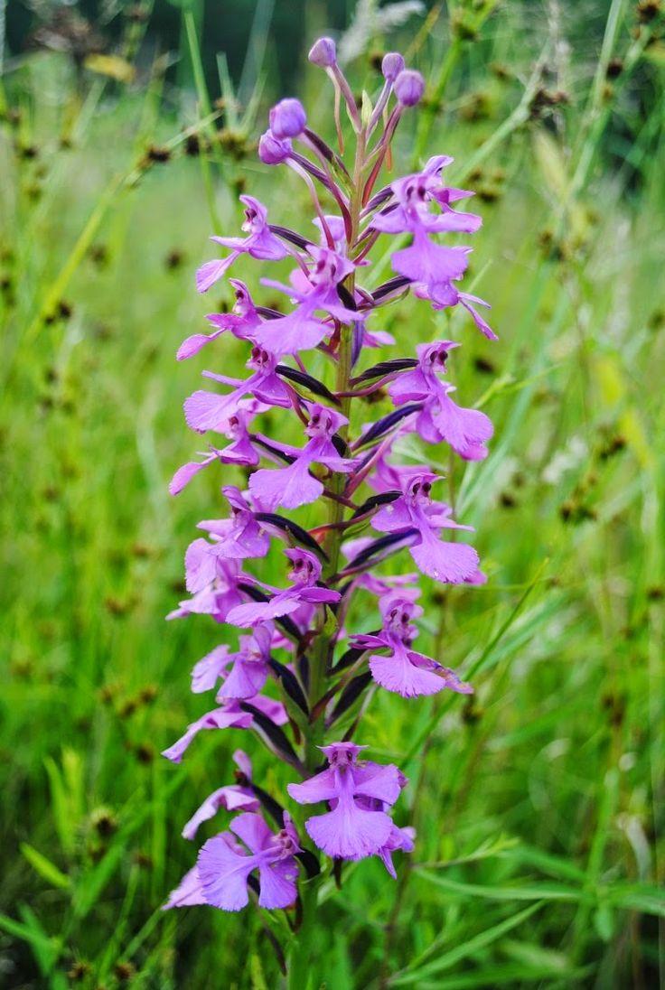 91 best west virginia wildflowers images on pinterest