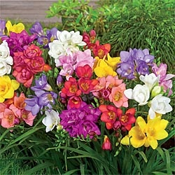 Fragrant Freesia Blend: Gardens 3, Gardens Collection, Freesia Blend, Fragrant Freesia, Decks Flowers, Gardens Gnomes, Flowers Boxes, Cut Flowers, Gardens Glories