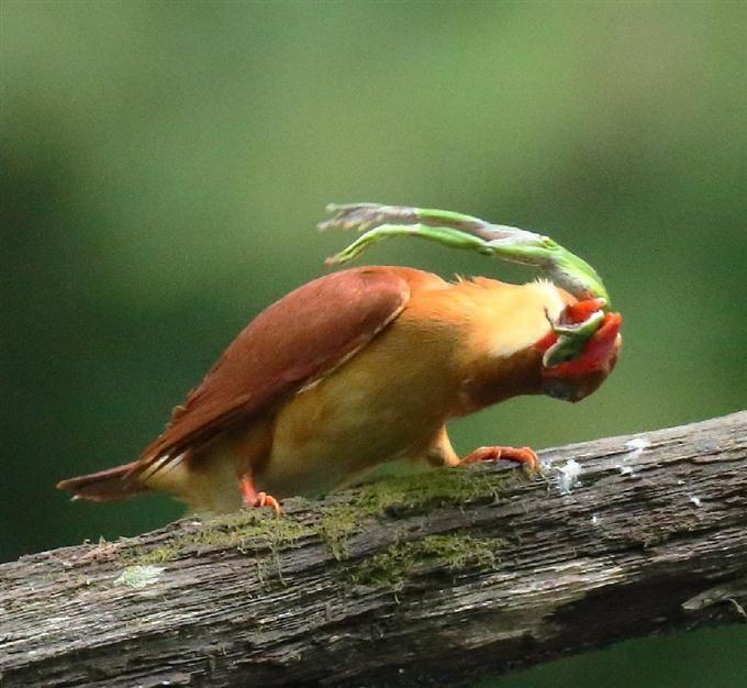 神出鬼没 火の鳥撮った!佐渡島のアカショウビン #神出鬼没 #火の鳥 #佐渡島 #photography