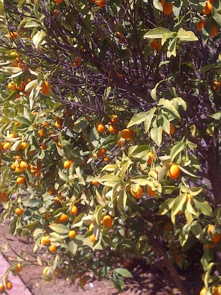 Kumquats are considered good luck in some cultures